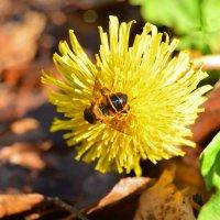 пчела :: Олеся Б