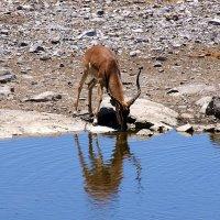 Животный Мир Африки. (Антилопа Импала) :: Jakob Gardok