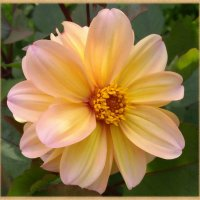 Расцвел в саду прекрасный георгин :: lady v.ekaterina