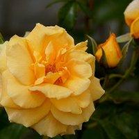 Распустилась роза чайная, источает аромат. :: Derjavin -