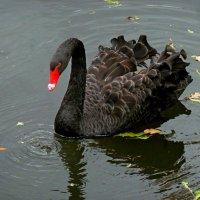 Черный лебедь на пруду... :: Лидия Бараблина