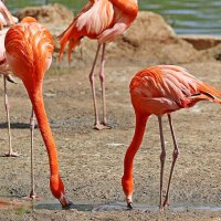 Фламинго :: Павел