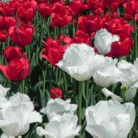Тюльпаны! :: Aleksandr