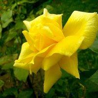 Роза жёлтая, роза чайная... :: Лия ☼