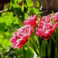 пионовидные тюльпаны :: Антонина Владимировна Завальнюк