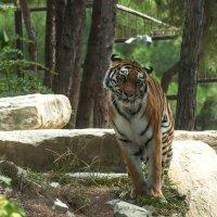 Застенчивый тигр :: Наталья Димова