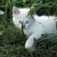 Снежный котик :: Светлана Рябова-Шатунова