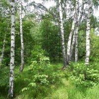 Берёзовый лес! :: Aleksandr