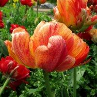 Тюльпаны :: Валентина Жукова