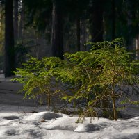 Ёлочки в большом лесу :: Алексей (GraAl)