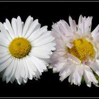 Прелестные маргаритки :: lady v.ekaterina