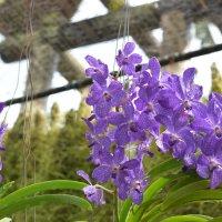 орхидея :: Ксения Жильникова