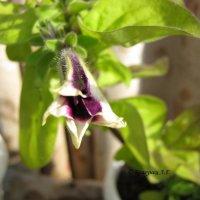 Петуния, начало цветения :: Лариса Брагунец