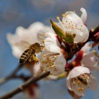 Лета ждать уже недолго, прилетай скорее пчелка! :: Наталья Димова