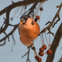 angry bird :: cfysx