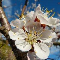 Абрикос в цвету :: Евгений Палатов