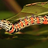 Гусеница тропической бабочки. :: Александр Гризодуб