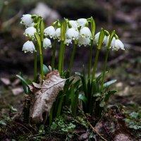 Первоцветы встречают весну :: Nika Polskaya