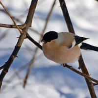 снегирка :: linnud
