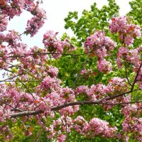 Яблони в цвету :: Надежда