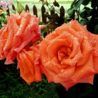 Мои розы! :: Владимир Шошин