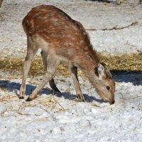 Малышка пятнистого оленя :: Леонид Иванчук