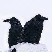 Два ворона. :: Юрий Харченко