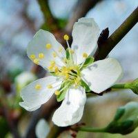 Весенние цветение :: Валентина Пирогова