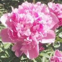 Розовый пион :: Марина Чайкина