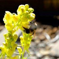 Эстафета цвета. Желтая среда - цветок и шмель :: Наталья (ShadeNataly) Мельник