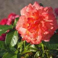роза природная красота :: Олег Лукьянов