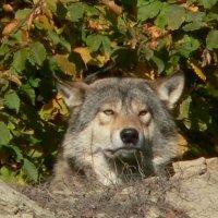 Портрет волка :: vitper per
