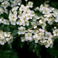 Цветы боярышника :: Сергей Карачин