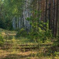 Лес в Республике Беларусь :: Игорь Сикорский
