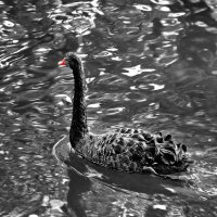 Чёрный лебедь :: Liudmila LLF