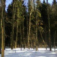 Еловый лес :: Людмила Монахова