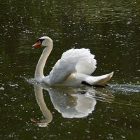Лебедь на пруду :: Анна Васильева (Anna-82V)
