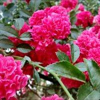 Розовый салют :: Нина Корешкова