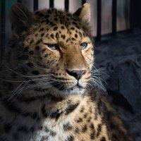 Леопард :: Владимир Шадрин