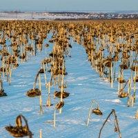 Урожай... :: ирина лузгина