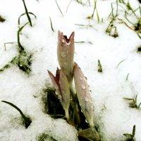 Нежданный снег. :: VasiLina *