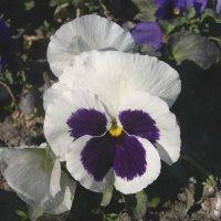 Viola tricolor 7 :: Андрей Lactarius