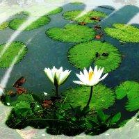 Белые лотосы. :: Чария Зоя