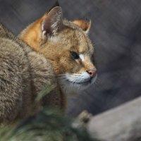 Камышовый кот :: Владимир Шадрин