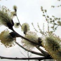 Верба цветет :: Наталья Пономаренко