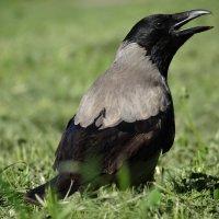 Ворона каркала уныло :: SELENA4950