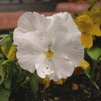 Viola tricolor 12 :: Андрей Lactarius