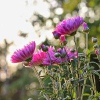 Осенние хризантемы :: Нина Кутина