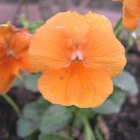 Viola tricolor 17 :: Андрей Lactarius