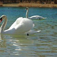 Белые лебеди - птицы прекрасные!... :: Galina Dzubina